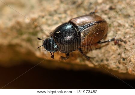 Aphodius erraticus dung beetle. Insect in the family Scarabaeidae commonly found in cow pats