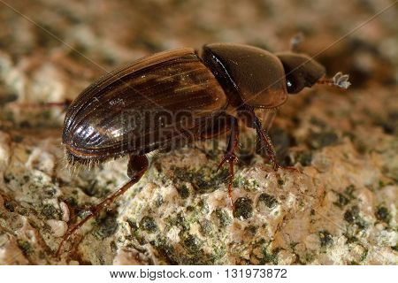 Aphodius prodromus dung beetle. Insect in the family Scarabaeidae commonly found in cow pats showing the eighth elytral stria