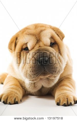 Funny sharpei puppy isolated on white background