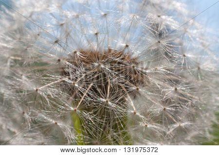 White dandelion close up. Macro shot, selective focus