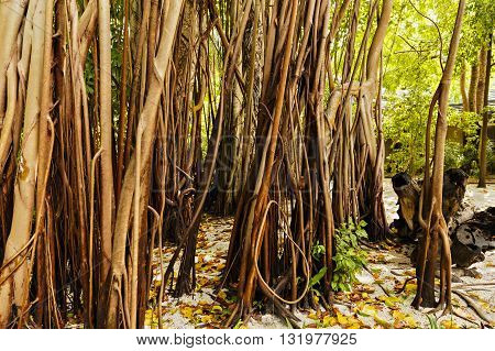 a large old trees overgrown with lianas