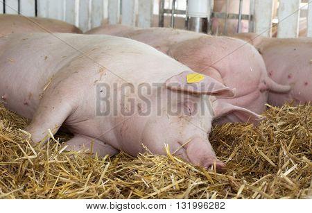Large White Swine Sleeping On Straw