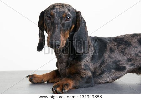 Close Up Of A Dachshund In Front Of A Whitebackground
