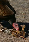 (wild turkey vulture) thank you very much for looking poster