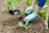Gardener planting plowing the broccoli seedlings in freshly ploughed garden beds. Organic gardening healthy food nutrition and diet self-supply and housework concept. poster