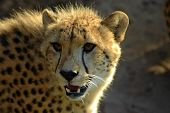 cheetah (jagluiperd) head portrait watching other cheetahs in a game park in south africa poster