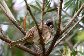 Sleepy Eurasian Tree Sparrow resting in windy afternoon poster