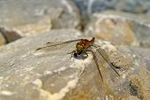 the dragonfly eating the fly on a stone surface. poster