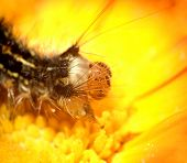 here is a caterpillar on a yellow flower. poster