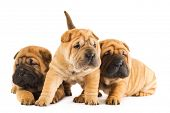 Group of sharpei puppies isolated on white background (studio shot) poster