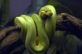 Green Snake In Tree Branch