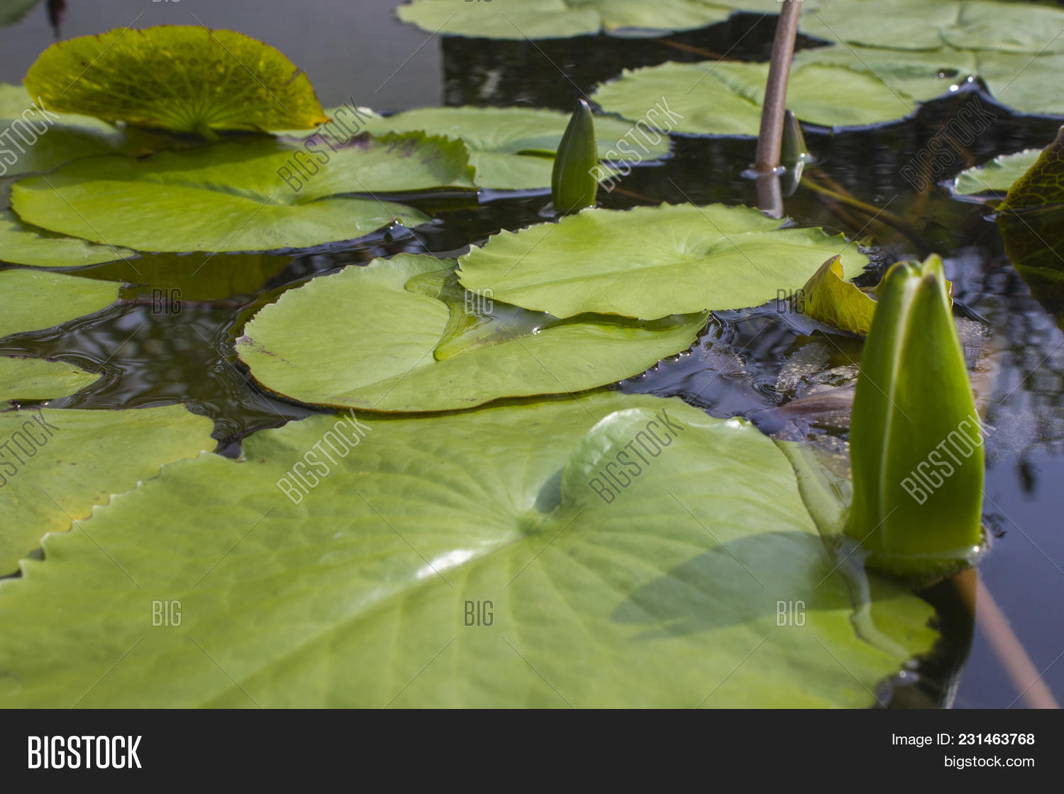 Lily Leaves Lotus Image Photo Free Trial Bigstock