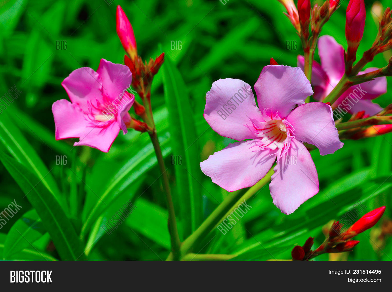 nerium oleander known image photo free trial bigstock