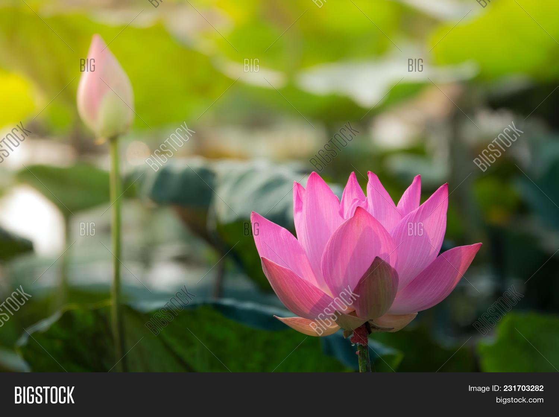 Pink lotus flower royalty high image photo bigstock pink lotus flower royalty high quality free stock image of a beautiful pink lotus flower izmirmasajfo