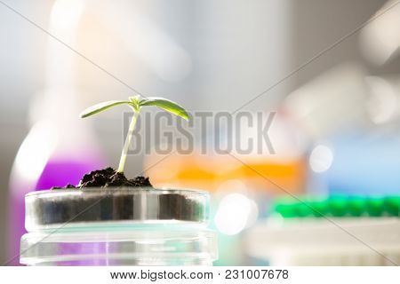 Young  green plant on petri dish in genetic laboratory