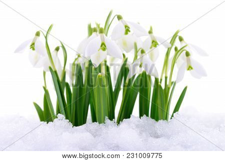 Snowdrop Flowers Coming Out From Real Snow Isolated On White.