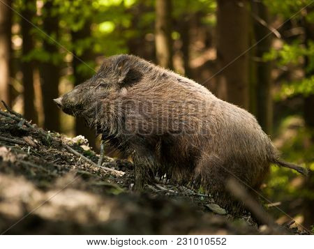 Sus Scrofa Scrofa - Central European Boar In Forest