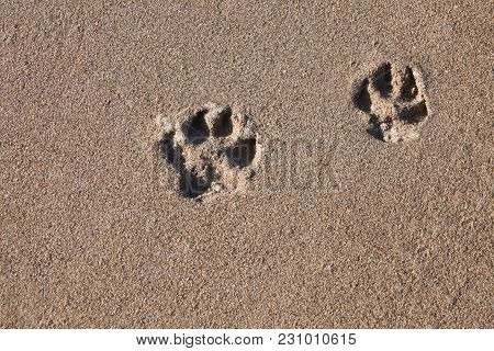 Clear Traces Of The Animal To The Wet Sea Sand On The Beach