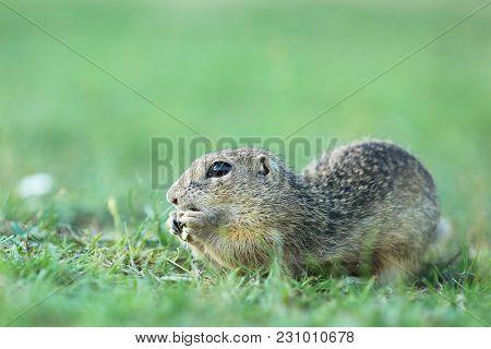 European Ground Squirrel On Meadow - Spermophilus Citellus