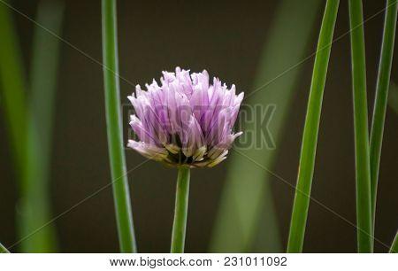 A Single Chive (allium Schoenoprasum) Flowerhead And Chive Stalks Surrounding It