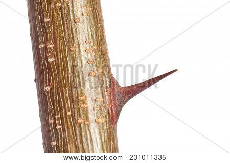 Sharp thorn closeup of black locust shrubbery