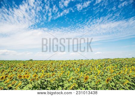 Landscape Of Sunflower Field With A Beautiful Blue Sky.