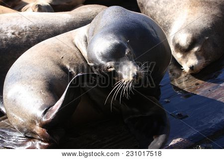 This Is An Image Of A Wild Sea Lion At Rest On A Barge In Monterey, Californis.