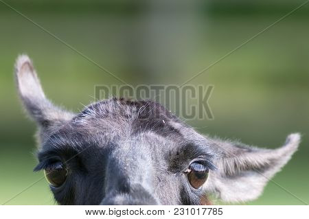 Funny Animal Image Of A Curious Inquisitive Lama Face. Stupid Looking But Adorable Creature With Cut