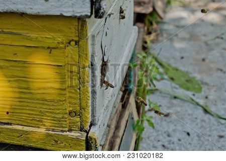 From Beehive Entrancebees Creep Out. Honey-bee Colony Guards The Hive From Looting Honeydew. The Bee