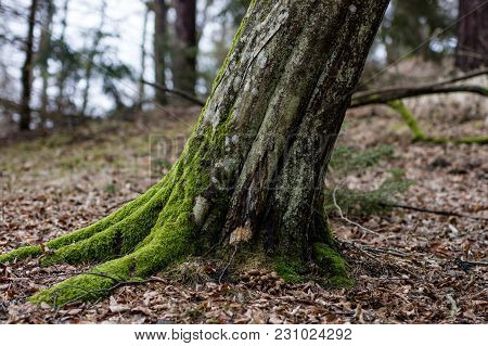 Old Mossy Tree Trunk. Deciduous Tree Stand In Poland.
