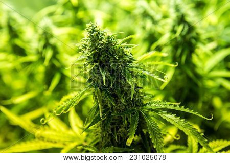 Cannabis Cultivation Indoor Growing Close Up Cultivation In Grow Box