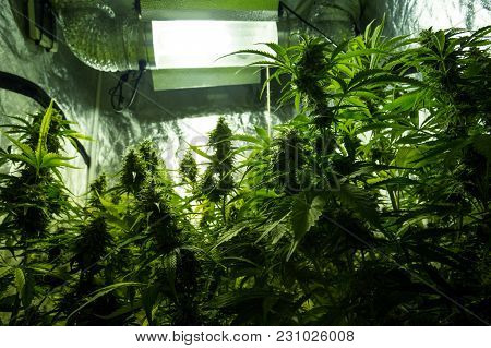 Cannabis Cultivation Indoor Growing Cultivation In Grow Box