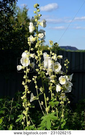 White Mallow Flowers On Summer Cottage In Summer Day.