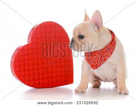 female french bulldog puppy dressed for valentines day on white background