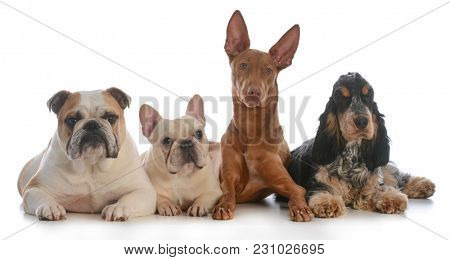 four different purebred dogs laying down isolated on white background