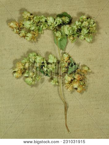 Wild Hop. Dry Herbs For Use In Alternative Medicine, Phytotherapy, Spa, Herbal Cosmetics. Preparing