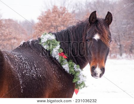 Dark bay horse wearing a Christmas wreath around his neck, standing in snow, looking at the viewer