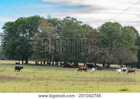 Herd Of Commercial Cattle In A Late Summer Pasture Under A Grove Of Trees