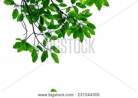 Top View A Tropical Green Leaves With Branch For Foliage Isolated Background