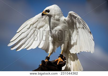 A White Goshawk Bird With Wings Open