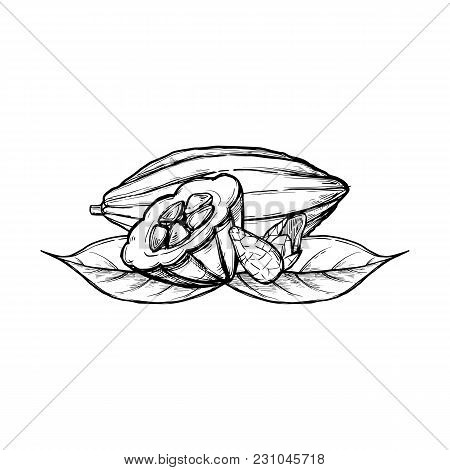 Cocoa  Isolated On White Background. Engraved  Illustration Of Leaves And Beans Of Cocoa.