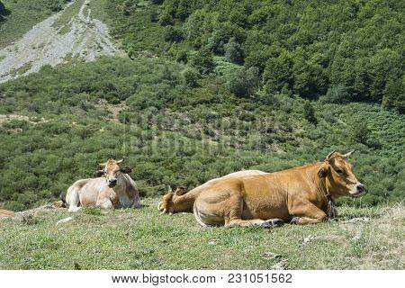 Cows Resting In The Field. Photo Taken In Sousas Valley, Somiedo Nature Reserve. It Is Located In Th