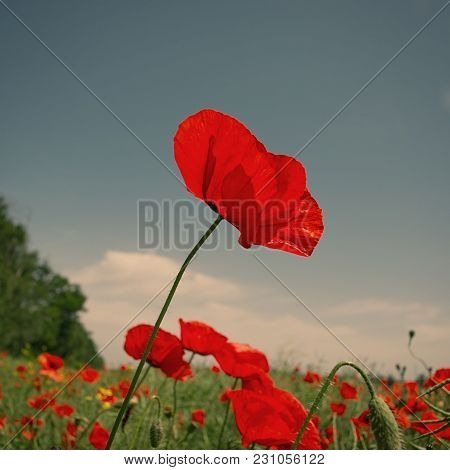 Red Field Poppy Flower On A Blue Sky Background In A Field. Spring Flowering.