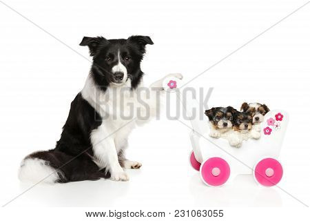 Dog Breeds Border Collie Keeps A Baby Stroller With Puppies On White Background. Baby Animal Theme