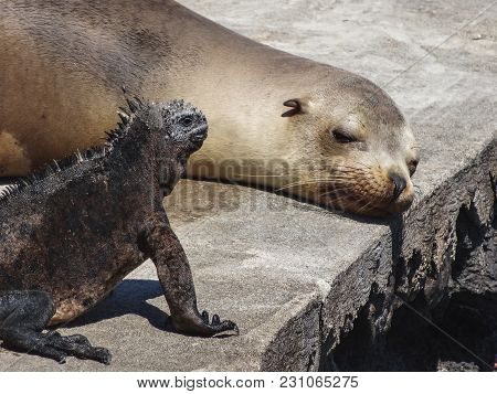 Sea Lion And Marine Iguana Hanging Out On A Pier In The Galapagos Islands In Ecuador
