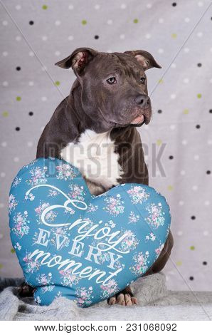 Staffordshire Terrier Potrait At Studio Sitting With Blue Pillow