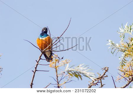 Superb Starling With Naughty Look On A Branch In The Savannah Of The Amboseli In Kenya