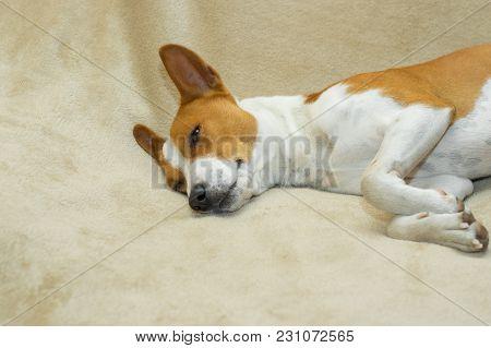 Cute Basenji Dozing On A Soft Bedspread