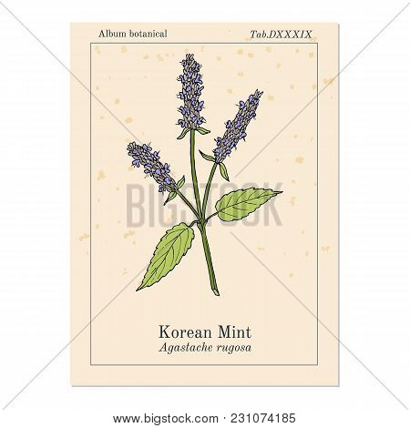 Korean Mint Agastache Rugosa , Or Blue Licorice, Purple Giant Hyssop, Medicinal Plant. Hand Drawn Bo