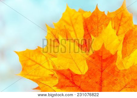 Beautiful Autumn Background With Bright Multicolor Maple Leaves. Yellow Orange Red Leaves On Blurred